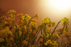 Floral background. yellow Golden white rustic field flowers interlacing curly little flowers sun sunset sunrise. Floral background. yellow Golden white rustic royalty free stock images