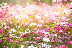 Floral backgrounds. Cosmos Flower, Concept for Floral backgrounds stock photo