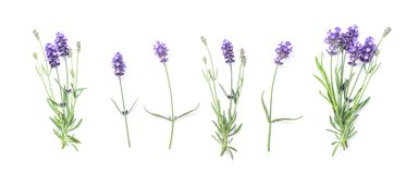 Floral banner flat lay Lavender flowers. Floral banner flat lay. Lavender flowers isolated on white background Royalty Free Stock Image