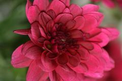 Floral Beauty in Pink. Deep pink flower in macro top view stock photography