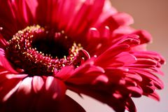 Floral Beauty in Pink. Deep pink flower in macro top view stock photo