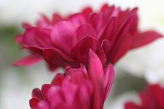 Floral Beauty in Pink. Deep pink flower in macro top view royalty free stock photography