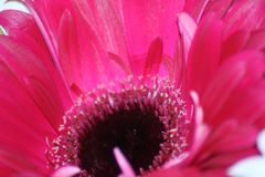 Floral Beauty in Pink. Deep pink flower in macro top view stock image