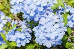 Floral bleu Image libre de droits