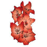 Floral blooming gladiolus hand drawn vector illustration Royalty Free Stock Photos