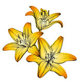 Floral blooming lilies hand drawn vector illustration  sketch Royalty Free Stock Images