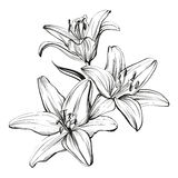 Floral blooming lilies hand drawn vector illustration  sketch Stock Images