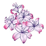 Floral blooming lilies hand drawn vector illustration  sketch Stock Image