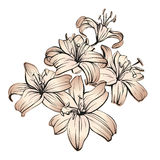 Floral blooming lilies hand drawn vector illustration  sketch Royalty Free Stock Image