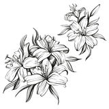 Floral blooming lilies set hand drawn vector illustration sketch Stock Image