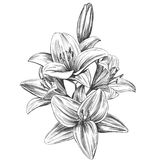 Floral blooming lilies vector illustration hand drawn vector illustration realistic sketch.  vector illustration