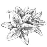 Floral blooming lilies vector illustration hand drawn vector illustration realistic sketch.  royalty free illustration