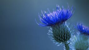 Floral blue background. Bright Blue thorny thistle flower. A blue flower on a  blue background. Closeup. Stock Image