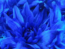 Floral blue beautiful background of Chrysanthemums. Wallpapers of blue flowers.  Closeup, Stock Images