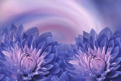Floral blue-pink beautiful background.  Flowers  blue dahlias on a colored background. Greeting card.  Flower composition. Nature Royalty Free Stock Image