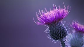 Floral blue-violet background.  Pink  thorny thistle flower. A pink flower on a blue background. Closeup. Stock Photos
