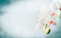 Floral border with Beautiful white orchid flowers at blue background. Nature , spa or wellness royalty free stock photo