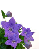 Floral Border Blue Balloon Flowers Royalty Free Stock Photo