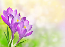 Floral Border with crocuses Stock Photos