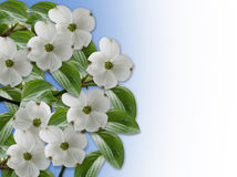 Floral Border Dogwood blossoms Royalty Free Stock Photos