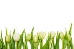 Floral border of fresh white tulips Royalty Free Stock Photo