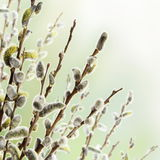 Floral Border of Pussy Willow Flowers. Branches Royalty Free Stock Photo