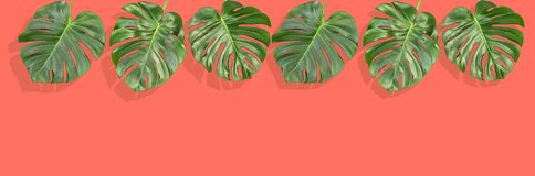 Floral border tropical Monstera leaves Living coral pantone background. Floral border tropical plant Monstera leaves. Living coral pantone background royalty free stock photo