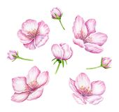 Spring Blossom. Cherry pink flowers. Blooming branch. Floral border. Watercolor illustration. Spring symbol. First flowers. Spring is comming Royalty Free Stock Photography