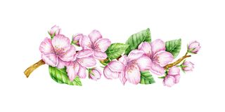 Spring Blossom. Cherry pink flowers. Blooming branch. Floral border. Watercolor illustration. Spring symbol. First flowers. Spring is comming Stock Photos