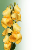 Floral Border yellow Canna lilies Stock Photo