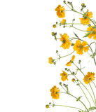 Floral border of  yellow flowers, isolated Royalty Free Stock Photo