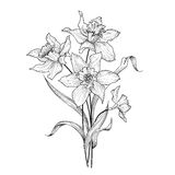 Floral bouquet. Flower daffodil engraving greetign card background. Royalty Free Stock Images