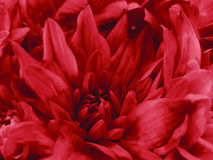 Floral bright red beautiful background of Chrysanthemums. Wallpapers of red flowers.  Closeup, Stock Photos