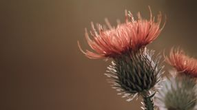 Floral brown background. Red thorny thistle flower. A red flower on a violet background. Closeup. Stock Image
