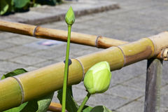 Floral bud of lotus Royalty Free Stock Image