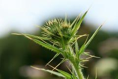 Thistle, a wild, green, melliferous Royalty Free Stock Photos