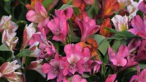 Fresh lovely azalea flowers with water drops, sale in flower shop closeup view.