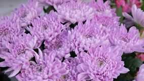 Fresh purple astra flowers with water drops, sale in flower shop closeup view.