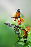 Floral butterfly habitat contention. Eastphoto, tukuchina,  Floral butterfly habitat contention Royalty Free Stock Photo