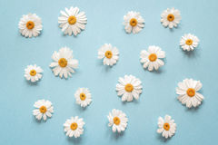 Floral camomile pattern on a blue background. Stock Photos