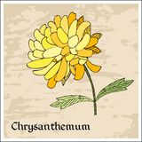 Floral card. Beautiful colorful chrysanthemum flower Stock Photo