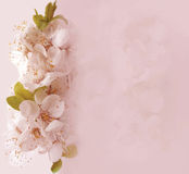 Floral card with blossom cherry Stock Photos