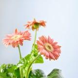 Floral card, pink gerber flower Royalty Free Stock Images