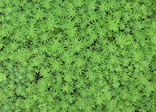Floral carpet. Green plants covering ground. Good for background Royalty Free Stock Image