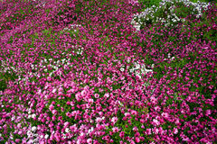 Floral carpet. Pink and white dimorphoteca (daisy) garden Stock Images