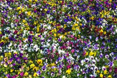 Floral carpet of multicolored pansies Stock Images