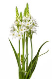 Floral Chincherinchee Flower Isolated royalty free stock photo