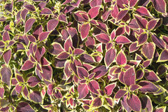 Floral of Coleus (Painted Nettle) plant Royalty Free Stock Photos