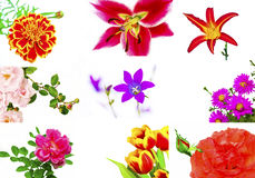 Floral collage. Floral collage of various decorative flowers - rose,chamomile,Lily,day-Lily is a,bell,Tulip on a white background royalty free stock photography