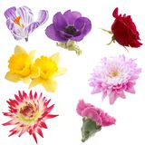 Floral Collection. Selection of Isolated Flowers including rose,daffodil,dahlia,carnation, and poppy anemone Stock Photos